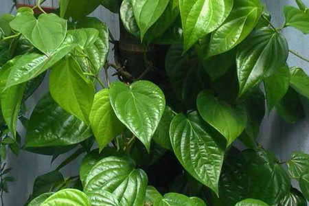 Cách điều trị nám và tàn nhang tại nhà với lá trầu không